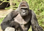Nhân viên sở thú bắn chết khỉ đột cứu bé trai 3 tuổi