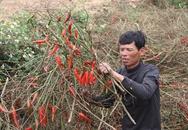 Nông dân phá ớt trồng ngô vì doanh nghiệp biệt tăm