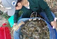 Tôm hùm, cá chết hàng loạt ở vùng biển Phú Yên