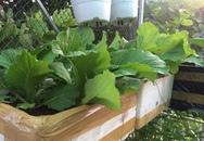 Vườn rau sạch xanh mướt trên sân thượng của bà mẹ 1 con