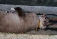 Singapore: Cả nước náo loạn vì một con mèo chết