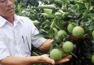 Cam xoàn giá 45.000 đồng/kg, người trồng cam lãi cao