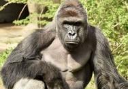 Bố mẹ để con trai rơi vào chuồng khỉ đột có thể bị khởi tố