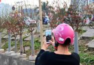 Hà Nội: Đào Nhật Tân xuống phố sớm đón Tết Dương lịch