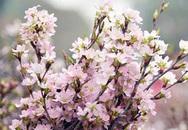 Người Hà Nội sắp được ngắm hoa anh đào Nhật Bản giữa lòng thành phố