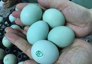 Giật mình trứng gà xanh siêu lạ, mỗi ngày bán 10.000 quả