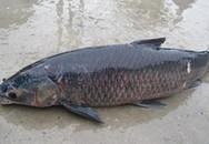 Bốn đại gia tranh nhau con cá trắm đen 10kg ăn Tết