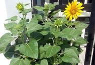 Gái 9X trồng rau tốt um như… phun thuốc kích thích