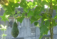 """""""Đã mắt"""" với vườn rau trên sân thượng của mẹ Việt ở Đài Loan"""