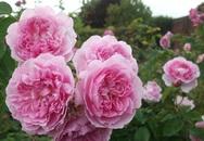 Nên trồng hoa hồng ta hay hoa hồng ngoại tại nhà?