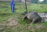 Hà Tĩnh: Trâu bò chết hàng loạt vì giá rét