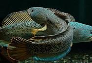 Ngỡ ngàng ngắm cá quả hoàng đế nghìn USD ở Hà Nội