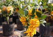 """""""Phật thủ bonsai"""" giá hàng chục triệu ở làng Đắc Sở"""