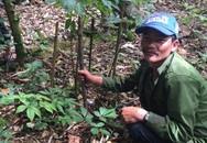 Vì sao người dân từ chối bán cây sâm Ngọc Linh cổ giá 30.000 USD?