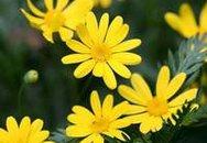 15 bài thuốc chữa tăng huyết áp bằng hoa