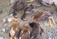 """Chưa tìm ra nguyên nhân """"gà ăn cá rồi chết"""" ở Đà Nẵng"""