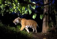Hổ hoang dã xuất hiện gây náo loạn khu dân cư ở Bắc Kạn