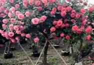 50 triệu đồng một cây hồng - tree rose