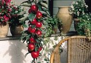 Những loại cây ăn quả mini đẹp và phù hợp trồng ở ban-công nhà phố