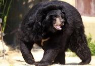 Nhân viên công viên hoang dã chết thảm vì gấu tấn công