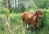 Bí ẩn con bò hoang khiến 'đảo quốc sư tử' náo loạn