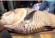 Cá hô khổng lồ giá hơn 300 triệu ở miền Tây
