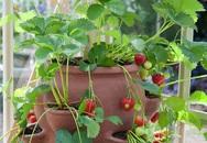 Cơn sốt trồng dâu tây trong chậu cho quả suốt mùa