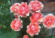 Mẹ Việt chia sẻ cách chăm sóc hơn 80 gốc hoa hồng đẹp như trong truyện cổ tích