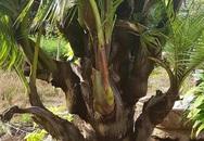 Bến Tre: Cây dừa chưa thấy kết trái nhưng lại trổ ra cây con ở thân