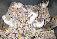 Điều gì xảy ra nếu em bé uống… sữa chuột?