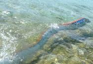 """Loài """"thủy quái"""" dài nhất thế giới được mệnh danh """"rồng biển"""""""