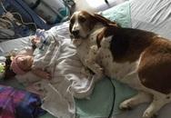 Đôi chó trung thành không chịu rời giường bệnh bé gái hấp hối