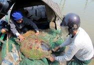 """Bắt được rùa """"khủng"""" nặng hơn 50kg trên sông Lam"""