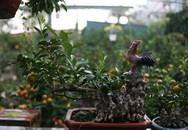 """Quất bonsai mang hình """"gà tiến Vua"""" hút khách dịp Tết"""