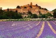 Thảo dược quý từ vùng Provence