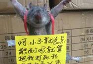 TQ: Chuột bị trói chân, làm nhục vì tội ăn vụng gạo