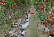 Vườn rau cao cấp trồng theo công nghệ Israel của nông dân Nghệ An