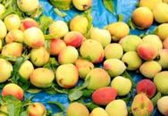Đào Sơn La đầu mùa giá rẻ khiến người mua bất ngờ