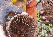 """""""Bí kíp"""" đặt lờ giúp thợ săn cáy có thu nhập chục triệu đồng/tháng"""