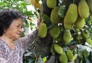 """Cây mít Mã Lai 11 năm tuổi """"oằn mình"""" gánh 500 quả dày đặc"""