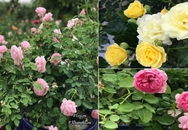 Vườn hồng ngoại tiền tỷ của cô gái dành hết tiền lương mỗi tháng đi mua hoa