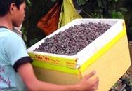 Đổ xô lên rừng hái sim, đút túi 700.000 đồng/ngày