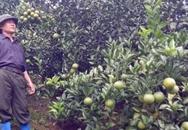 Ông nông dân thu ngót 1 tỷ/năm nhờ trồng cam
