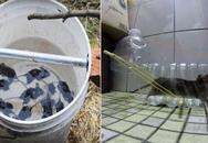 Đuổi được cả đàn chuột khỏi nhà nhờ 4 cách làm bẫy chuột cực đơn giản