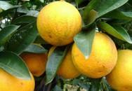 Thu nhập tiền tỷ từ trồng cam Vinh