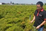 Chàng kỹ sư trẻ thu gần 1 tỷ/năm nhờ trồng đinh lăng