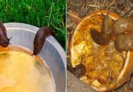 Vườn bị ốc sên phá mà bắt bằng tay không kịp, hãy thử ngay 5 cách cực hiệu quả này