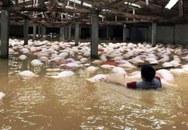 Thanh Hóa: Gần 4.000 con lợn chết nổi trắng trong mưa lũ