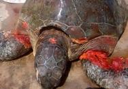 Nam Định: Vích biển quý hiếm bị thương nặng dạt vào cửa sông