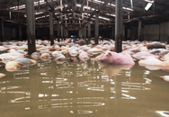 Đang chôn lấp gần 6.000 con lợn chết do nước lũ